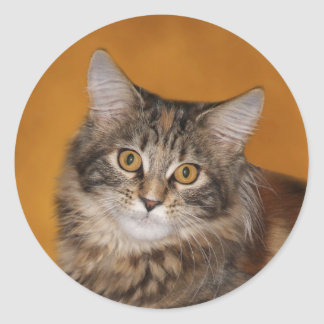 Maine Coon kitten face Classic Round Sticker