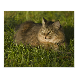 Maine coon (largest breed of domestic cats) print