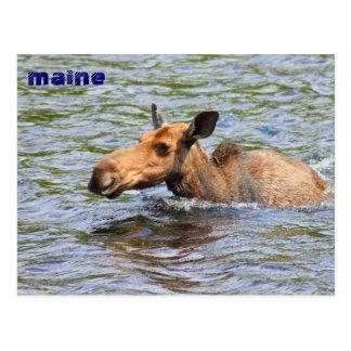 Maine Cow Moose Swimming Postcard