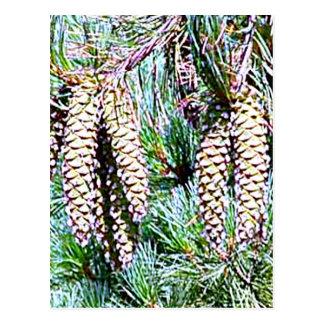 Maine White Pine Cone Postcard