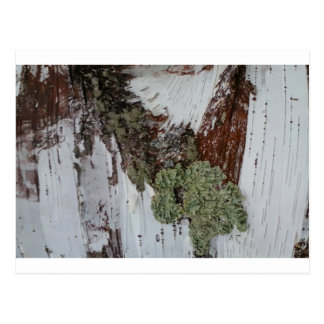 Mainely Birch Postcard