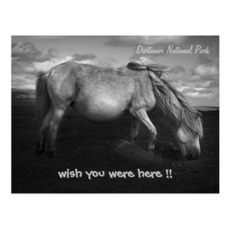 Majestic Dartmoor Pony Portrait postcard