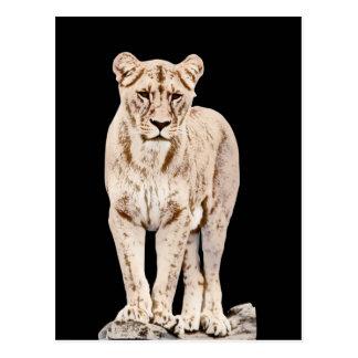 Majestic Lioness Postcard