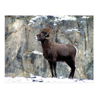 Majestic Mountain Bighorn Postcard