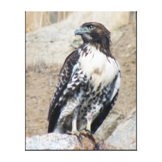 Majestic Red-tailed Hawk Wrapped Canvas