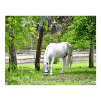 Majestic White Horse Postcard