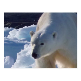 Majestic wild Polar bear Post Card