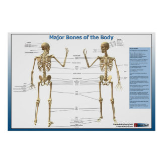 Major Bones of the Body Poster