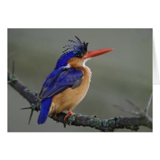 Malachite Kingfisher, Alcedo cristata, Lake Card