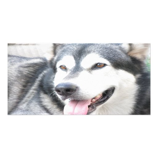 Malamutte pet dog photo card
