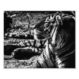 Malayan Tiger Sunning – Photo Print