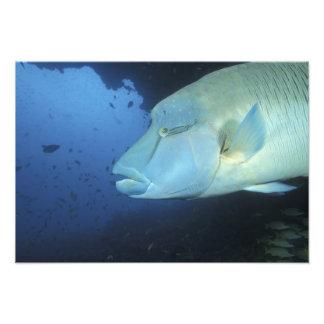 Maldives, Napoleanfish Chelinus undulatus) Photograph