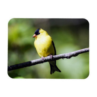 Male American Goldfinch Magenet Magnet