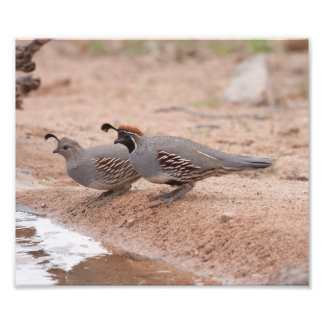 Male and female Gamble s Quail Photographic Print