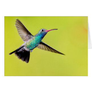 Male broad-billed hummingbird in flight card