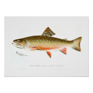 Male Brook Trout Poster