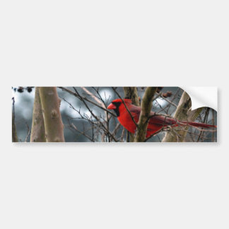 Male Cardinal Concentrating Bumper Sticker