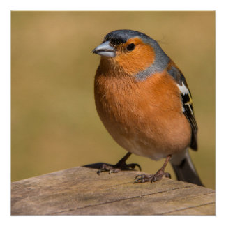 Male Chaffinch Poster/Print Poster