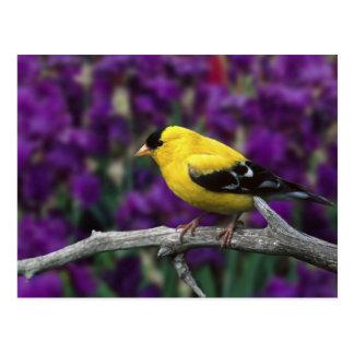 Mâle, chardonneret américain dans le plumage carte postale