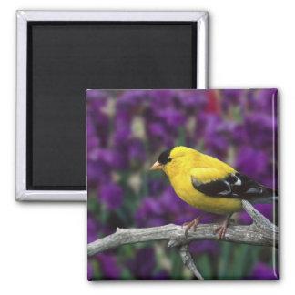 Mâle, chardonneret américain dans le plumage d'été magnet carré