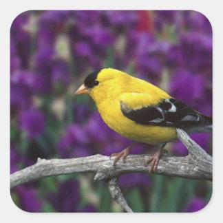 Mâle, chardonneret américain dans le plumage sticker carré