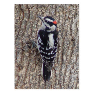 Male Downy Woodpecker Bird Postcard