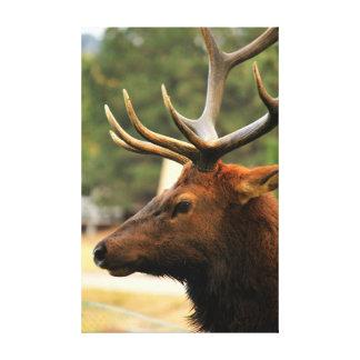 Male Elk Canvas Print