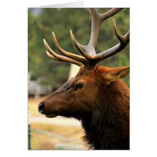 Male Elk Card