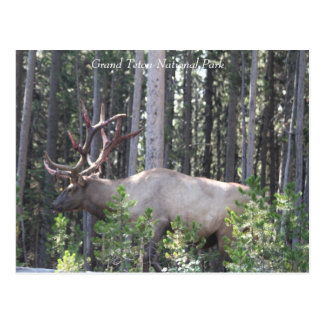 Male Elk, Grand Teton National Park, Photography Postcard
