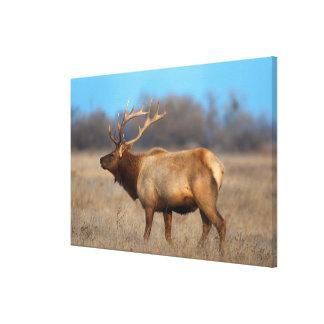 Male elk profile in autumn canvas print