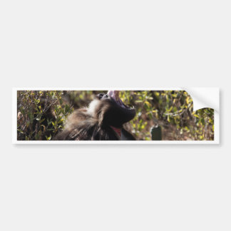Male gelada baboon (Theropithecus gelada) Bumper Sticker