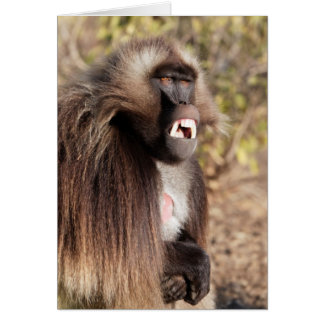 Male gelada baboon (Theropithecus gelada) Card