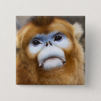 Male Golden Monkey Pygathrix roxellana, portrait 2 Inch Square Button