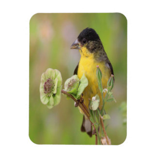 Male  Goldfinch Magnet