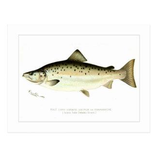 Male Land-locked Salmon or Quaniche Postcard