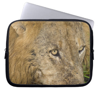 Male lion drinking, Greater Kruger National Laptop Sleeve