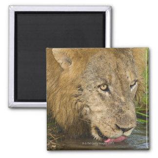 Male lion drinking, Greater Kruger National Magnet