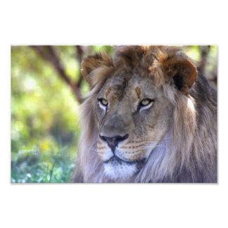 Male Lion headshot Photo