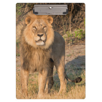 Male lion looking at viewer,in grassland clipboards