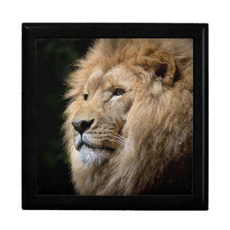 Male lion portrait on black background gift box