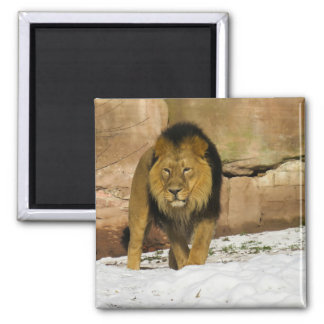 Male Lion Walking Square Magnet