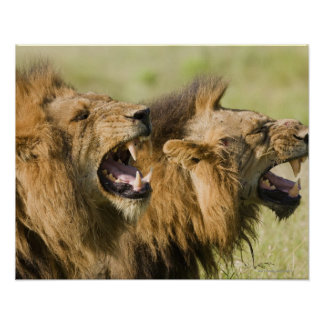 Male lions roaring, Greater Kruger National Poster