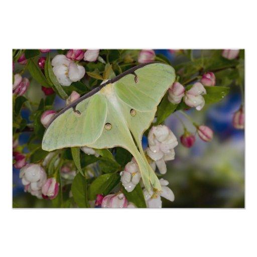 Male Luna Silk Moth of North American 2 Photo Art