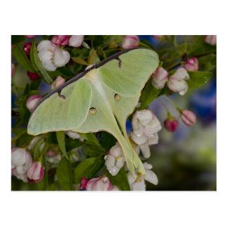 Male Luna Silk Moth of North American 2 Postcard