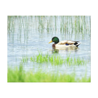 Male mallard duck floating on the water canvas print