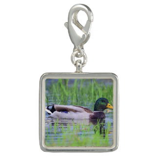 Male mallard duck floating on the water charm