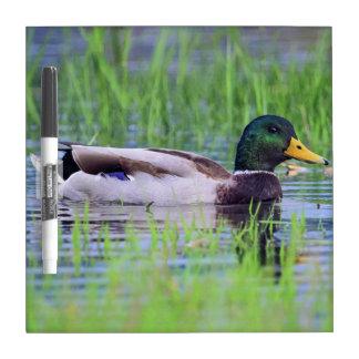 Male mallard duck floating on the water dry erase board