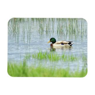 Male mallard duck floating on the water magnet