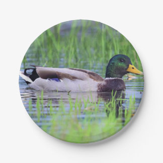 Male mallard duck floating on the water paper plate