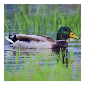 Male mallard duck floating on the water perfect poster